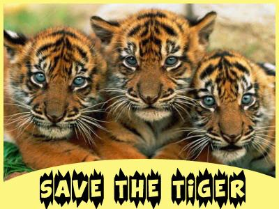 Save the Tiger Teach Kids to Save the Tiger