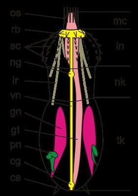Scalidophora httpsuploadwikimediaorgwikipediacommonsthu