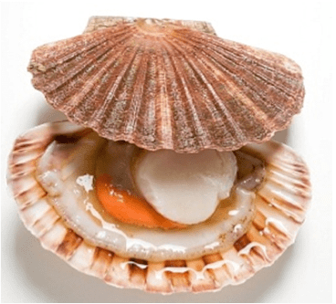 Scallop Alchetron The Free Social Encyclopedia