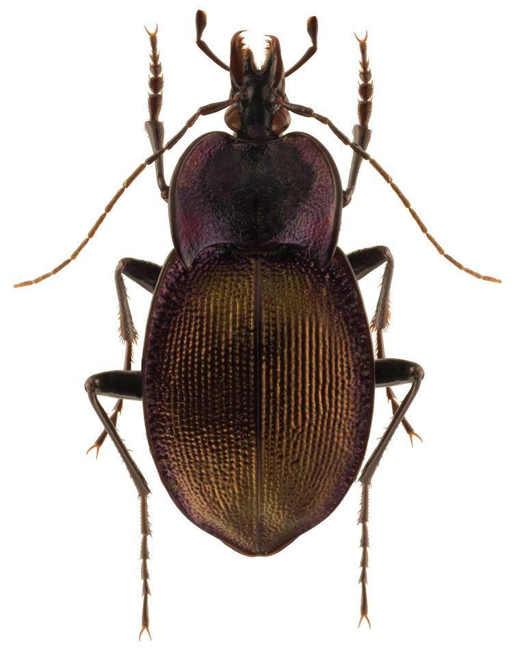 Scaphinotus Scaphinotus Scaphinotus elevatus Fabricius 1787 Carabidae