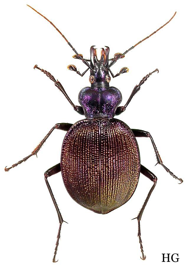 Scaphinotus carabidaeorgcarabidaeScaphinotus20Scaphinotus