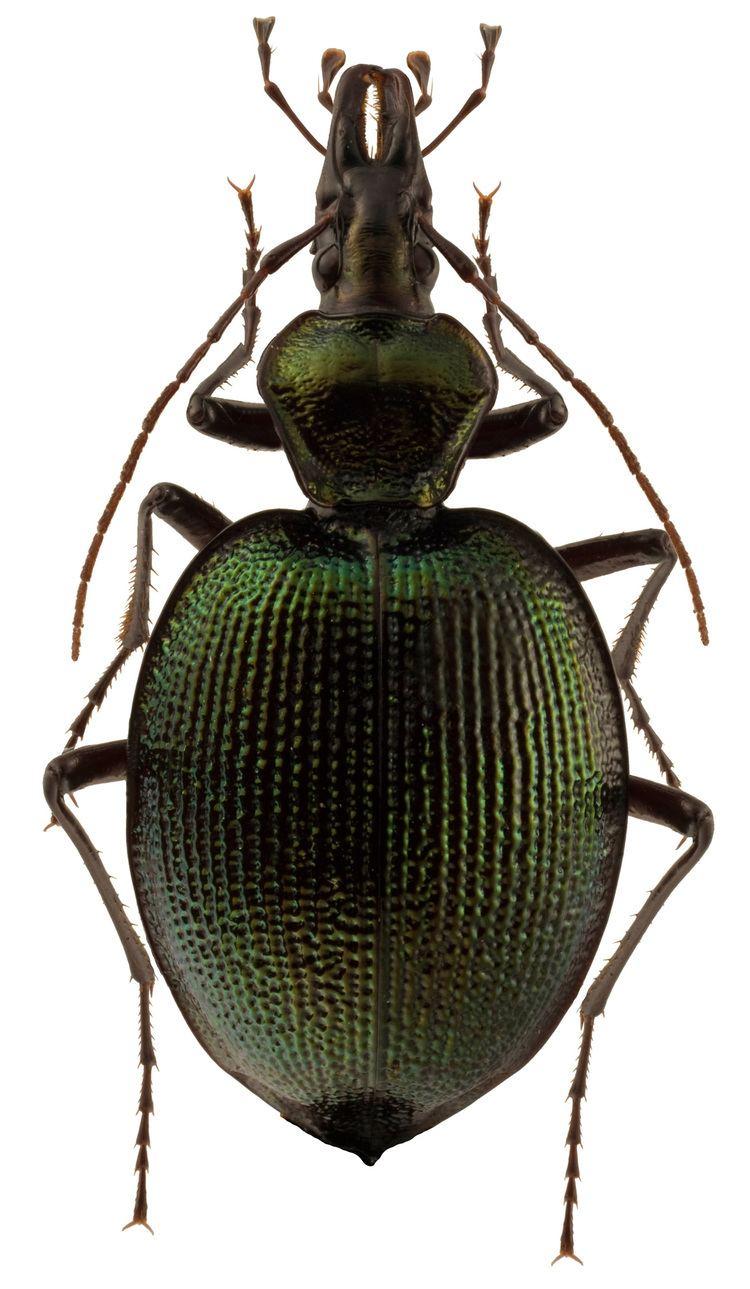 Scaphinotus Genus Scaphinotus Dejean 1826 Carabidae