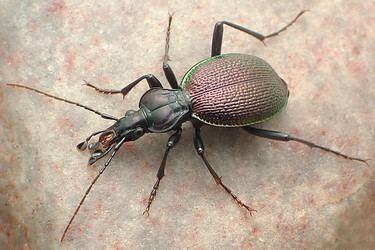 Scaphinotus Scaphinotus