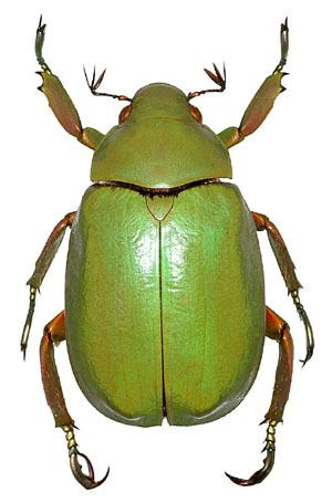 Scarabaeidae Generic Guide to New World Scarab BeetlesScarabaeidaeRutelinae