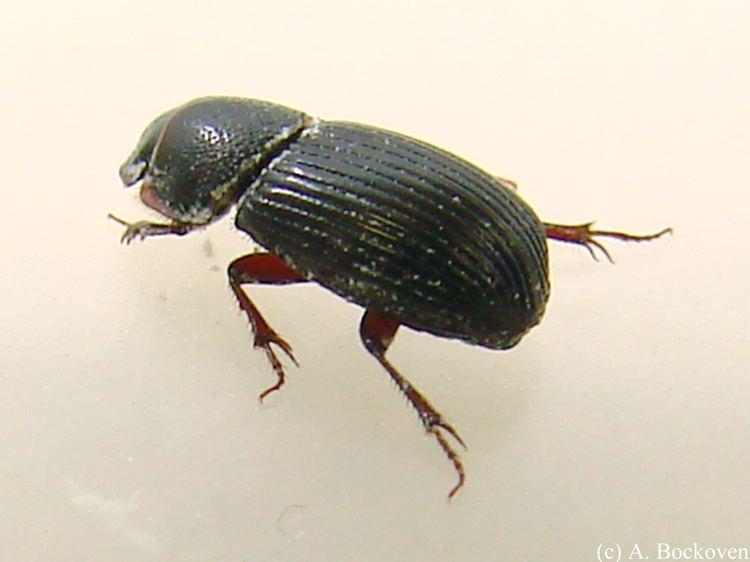Scarabaeidae Scarabaeidae 6legs2many
