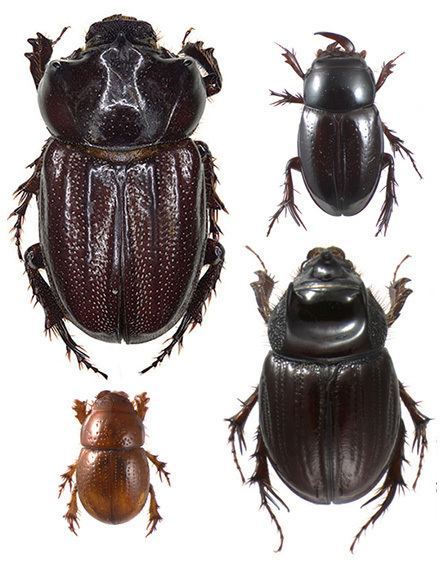 Scarabaeidae Subfamily Orphninae Coleoptera Scarabaeidae wwwscarabaeoideacom