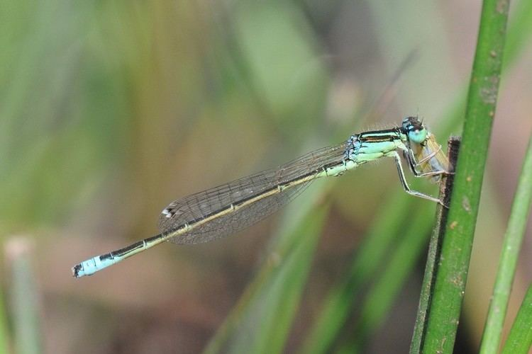 Scarce blue-tailed damselfly Scarce Blue Tailed Damselfly Chris Brooks Photography