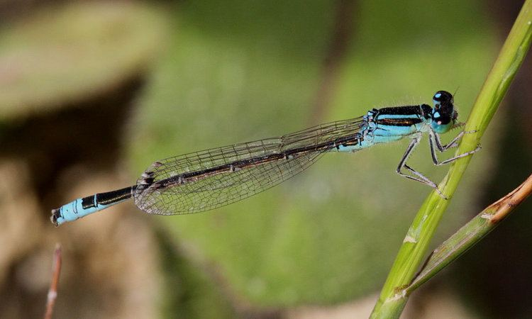 Scarce blue-tailed damselfly scbltaildamm2galleryjpg