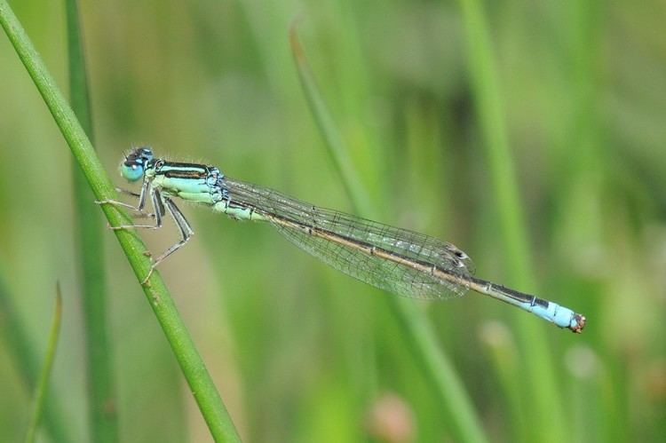 Scarce blue-tailed damselfly Scarce Blue Tailed Damselfly Slide Show Chris Brooks Photography