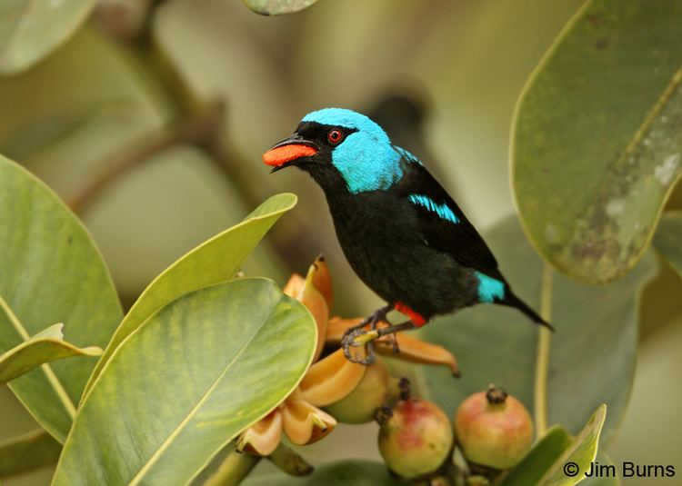 Scarlet-thighed dacnis Costa Rica Scarletthighed Dacnis