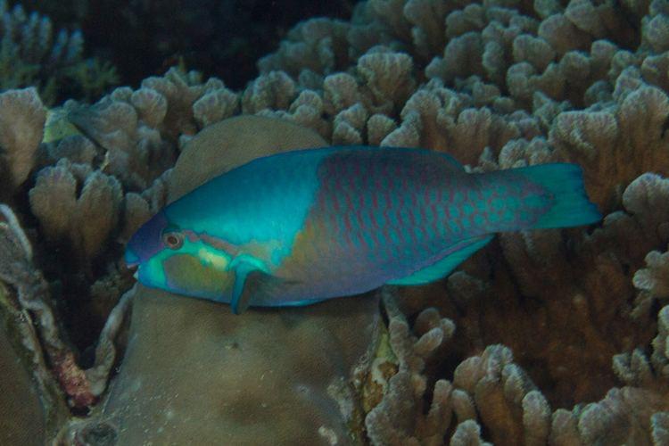 Scarus dimidiatus fishesofaustralianetauImagesImageScarusDimidi