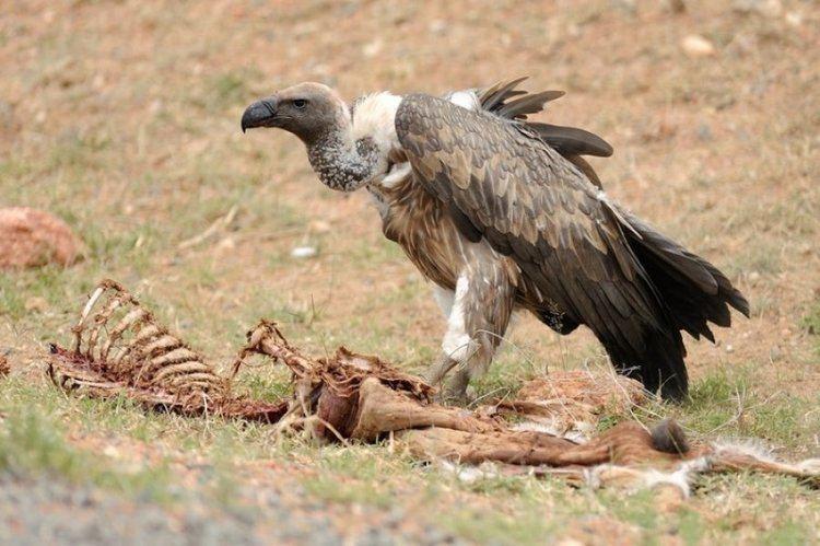 Scavenger Interactions between humans and scavengers have been decisive in