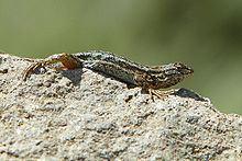 Sceloporus occidentalis bocourtii httpsuploadwikimediaorgwikipediacommonsthu