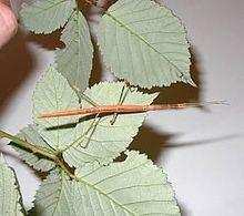 Sceptrophasma hispidulum httpsuploadwikimediaorgwikipediacommonsthu