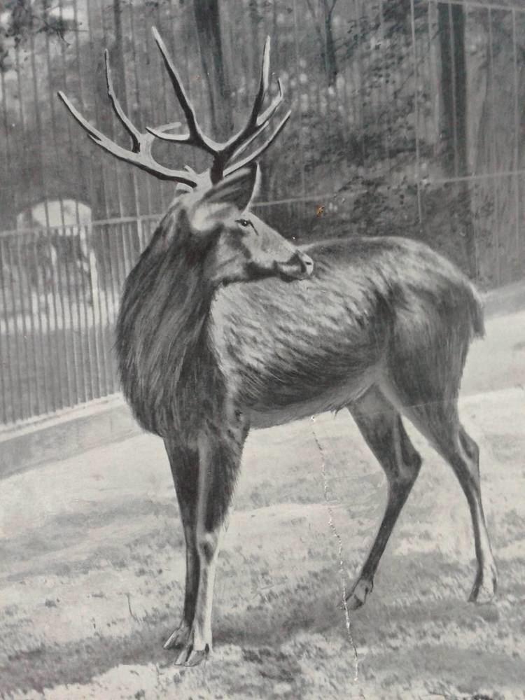 Schomburgk's deer schomburgk39s deer ZooChat