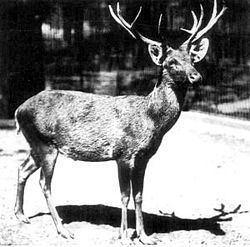 Schomburgk's deer httpsuploadwikimediaorgwikipediacommonsthu