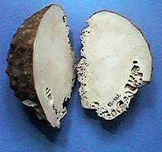 Sclerosponge httpsuploadwikimediaorgwikipediacommons33