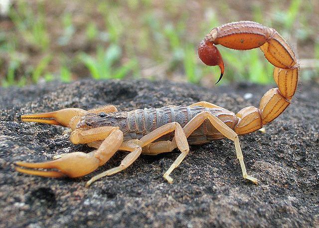 Scorpion httpsuploadwikimediaorgwikipediacommonsff