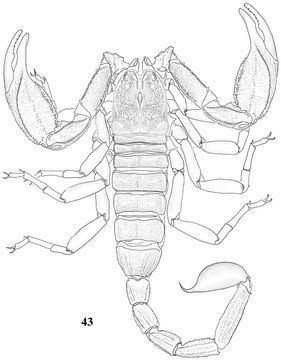 Scorpiops luridus
