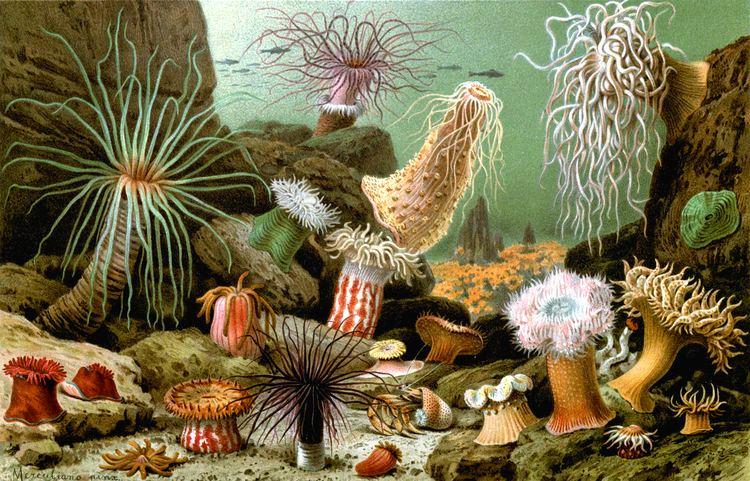 Sea anemone Sea anemone Wikipedia