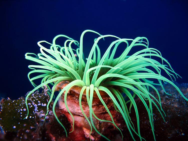 Sea Anemone Alchetron The Free Social Encyclopedia