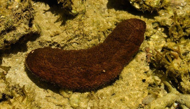 Sea cucumber Sea Cucumbers Sea Cucumber Pictures Sea Cucumber Facts National