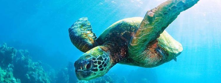 Sea turtle Sea Turtle Species WWF