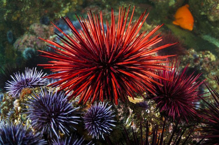 Sea urchin As Sea Stars Die New Worries About Urchins