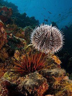 Sea urchin Sea urchin Wikipedia