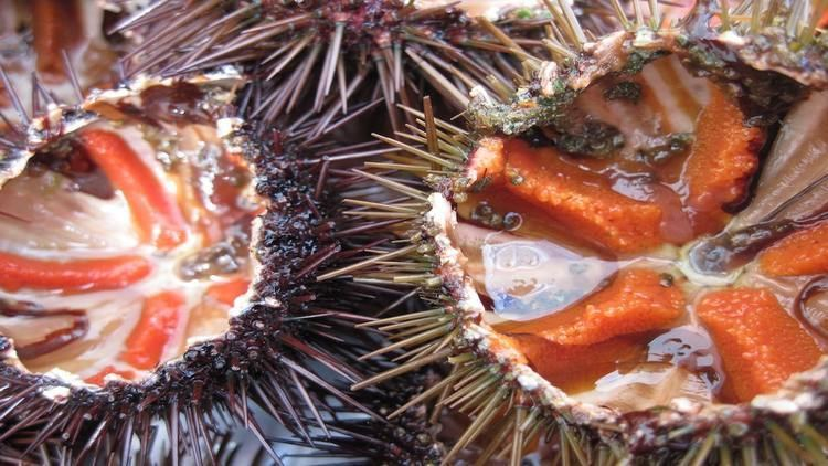 Sea urchin How to Eat Sea Urchin Travel Gluttons