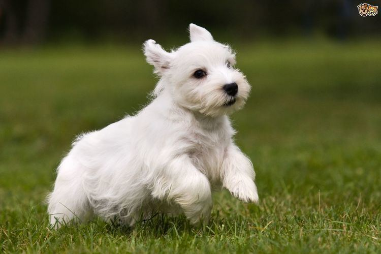 Sealyham Terrier Sealyham Terrier Dog Breed Information Facts Photos Care Pets4Homes