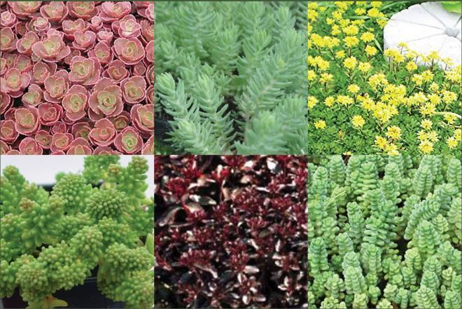 Sedum Sedum Collections Succulent Rock Garden Plants Ground Covers