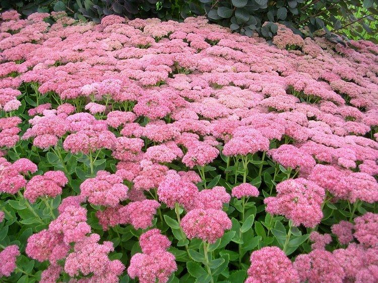 Sedum How to Grow Sedum gardening sedum growing sedum