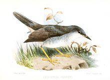 Semper's warbler httpsuploadwikimediaorgwikipediacommonsthu