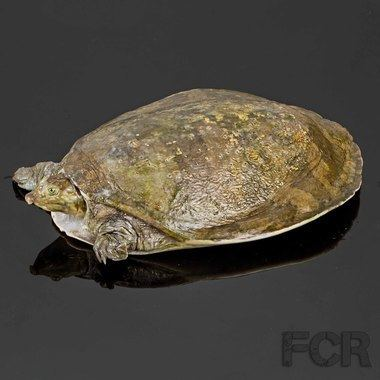 Senegal flapshell turtle Senegal Flapshell Turtle For Sale First Choice Reptiles
