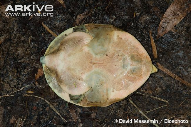 Senegal flapshell turtle cdn2arkiveorgmedia86862683BED3524B8CB2285