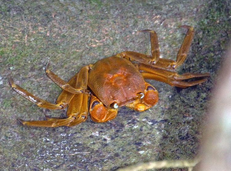 Sesarmidae Photos of land crabs in the family Sesarmidae