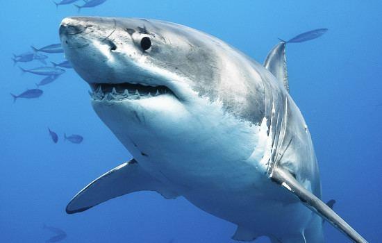 Shark Are Sharks Smart Sharkopedia
