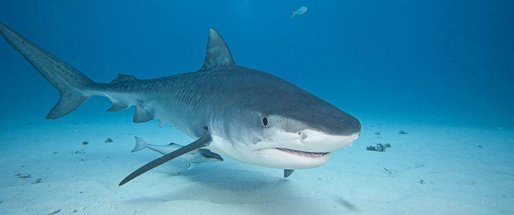 Shark Shark Attack Videos at ABC News Video Archive at abcnewscom
