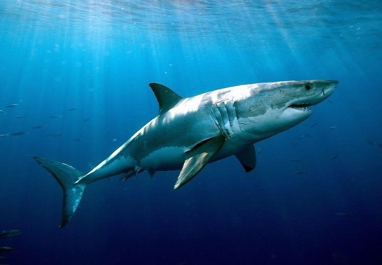 Shark Atlantic White Shark Conservancy
