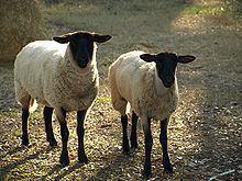 Sheep httpsuploadwikimediaorgwikipediacommonsthu
