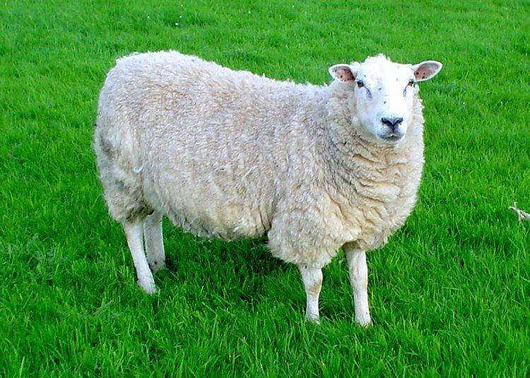 Sheep INCREASE IN SHEEP ATTACKS IN NEW ROSS AREA South East Radio