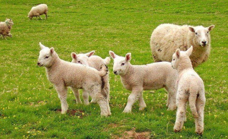 Sheep Why Wearing Wool Means Hurting Sheep Save Animals PETA Kids