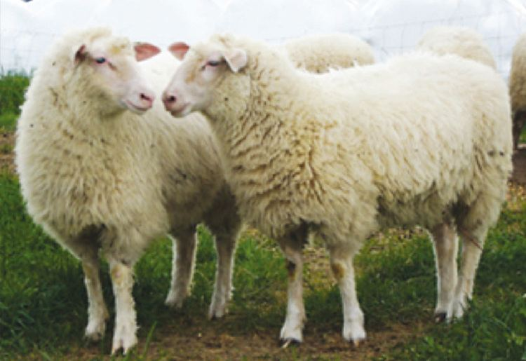 Sheep American Sheep Industry Breed Directory