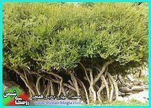 Shiman uploadwikimediaorgwikipediacommonsthumb003