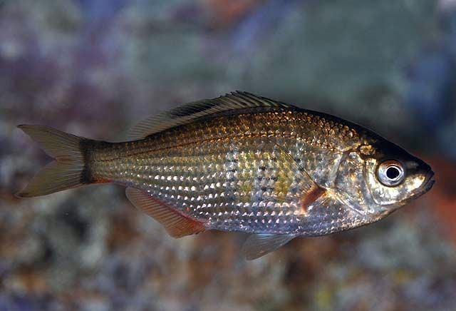Shiner perch wdfwwagovfishingbottomfishidentificationgrap