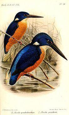 Shining-blue kingfisher httpsuploadwikimediaorgwikipediacommonsthu
