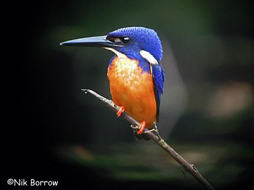 Shining-blue kingfisher Surfbirds Online Photo Gallery Search Results