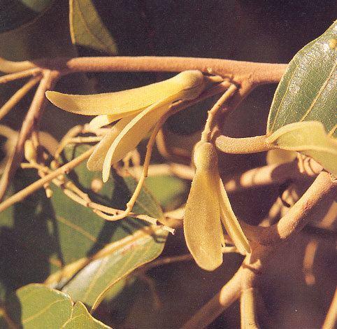 Shorea obtusa Shorea obtusa Wall BGO Plant Database
