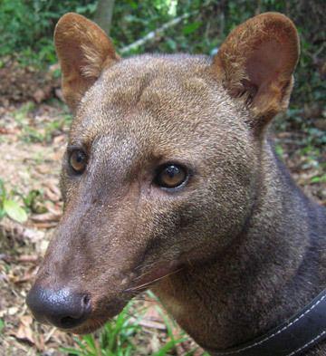Short-eared dog s3amazonawscommongabayimages1407272008Los